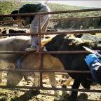 Esquellada de la Vaca de l'Albera